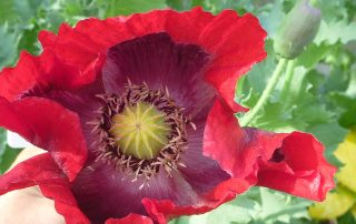 red poppy flower at Grey Sands
