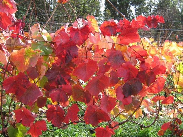 Coloured vine leaves at Grey Sands