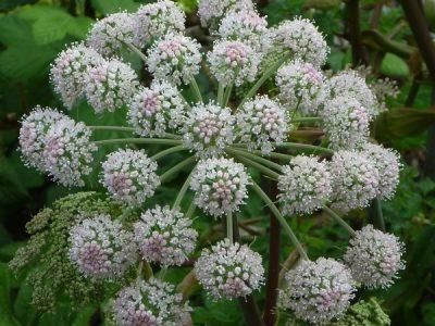 tamar valley wines Angelica flower