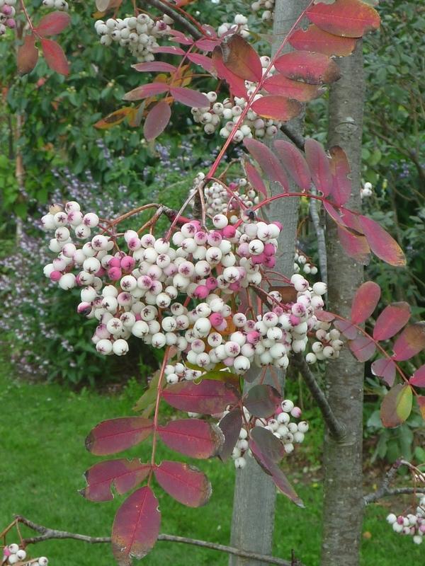 tamar valley wines Sorbus berries