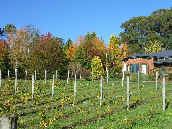 View across young P Blanc plantings to autumn coloured trees at Grey Sands