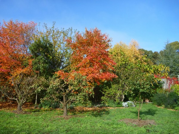 Brilliant autumn coloured Nyssa trees at Grey Sands