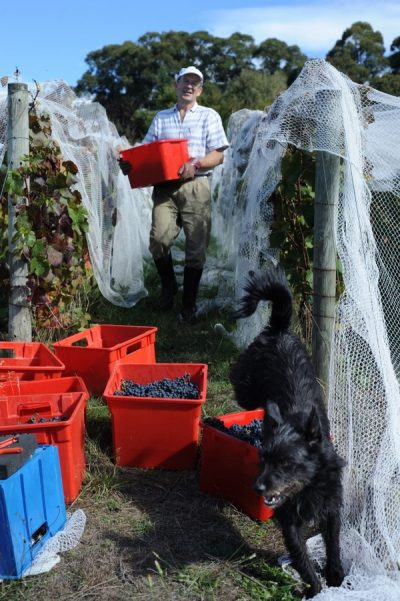 Bob carrying crates of grapes down from pickers with Lucy in foreground