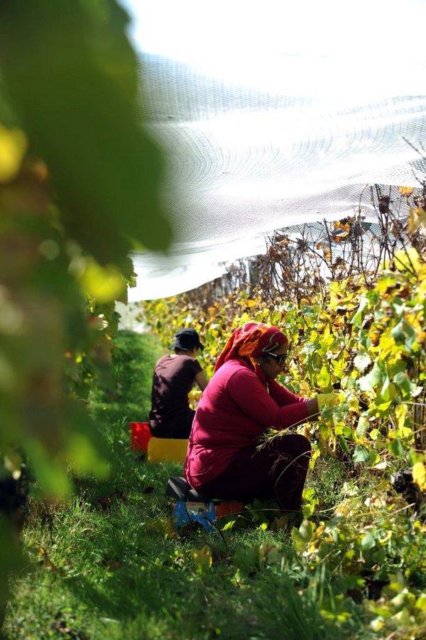 Hand picking grapes at Grey Sands vineyard