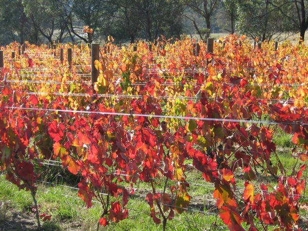 Coloured Aglianico vines at Grey Sands