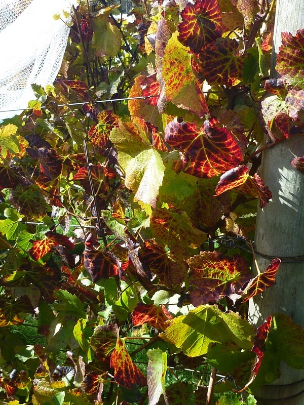 Pinot Noir leaves in attractive Autumn colour patterns