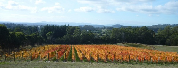 Bed of autumn coloured malbec vines at Grey Sands Vineyard