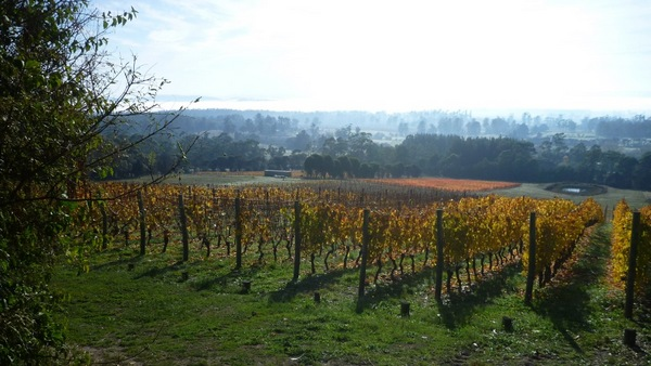 Autumn in Grey Sands vineyard