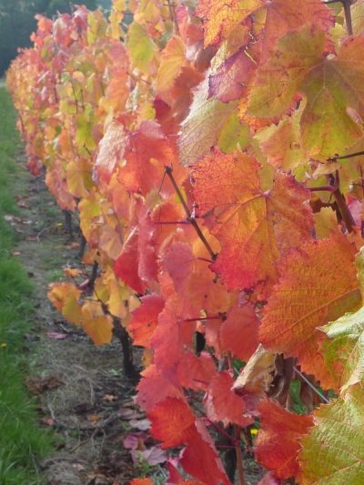 Looking along a row of autumn coloured malbec vines at Grey Sands