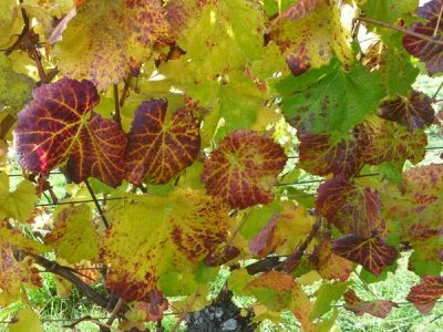 Autumn colours and patterns in vine leaves