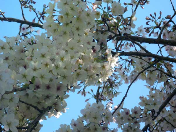 Looking up through Prunis Yedoensis flowers