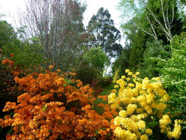 Mollis-azaleas-&-view-of-ga
