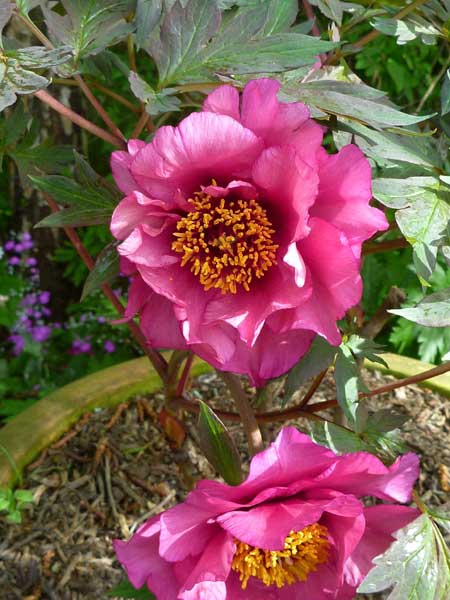 New-peony-1st-flowering